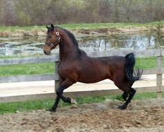 I Am Johnny Be Good Johnny Be Good, Johnny Was, American Saddlebred, Horses, Animals, Animales, Animaux, Animal, Animais