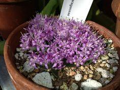 Polyxena_ensifolia