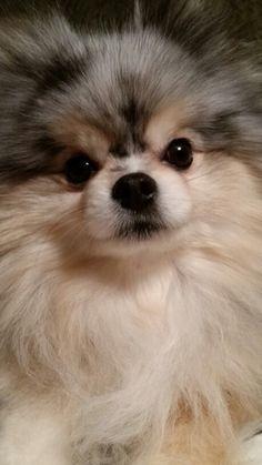 Cutest Pomeranian (Bella)