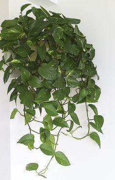 El Scindapsus. Pertenece a la familia de las Aráceas. Las especies más comunes son: Scindapsus aureus, Scindapsus pictus. Vulgarmente se le conoce por Potos, Pothos o Escindapso. Son plantas ideales para estantes  repisas o armarios, Es una planta vivaz colgante de gran efecto para situarlo en el interior de la vivienda.  La luz debe llegarle tamizada, no debe darle el sol nunca. El Potos aguanta lugares con poca luz, pero sus hojas pierden brillo.
