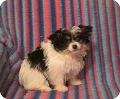 Papillon/Maltese Mix Puppy for adoption in WOODSFIELD, Ohio - QT ~ TINY, SUPER SWEET!!