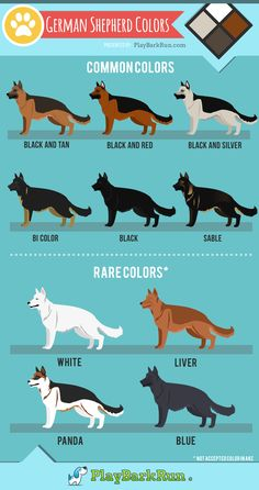 German shepherd dogs - German shepherds come in all varieties of beautiful colors and lengths Grooming and Care also play a big part in their coat health Learn about all the colors, AKC breed standards, and coat care ge Big Dogs, Large Dogs, Cute Dogs, Dogs And Puppies, Puppies Tips, Awesome Dogs, Corgi Puppies, Amazing Cars, Doggies