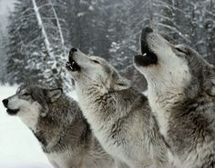 Listen to wild wolves howling