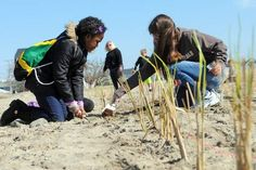 Seabrook Middle School students Renae Ellis, left, and Abigail Soletto, right, work as a team with Marikate Morin (not shown), to plant beachgrass on Earth Day at Hampton State Park.  Photo by Deb Cram/Seacoastonline