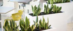 Sansevieria Laurentii (limba soacrei) in containere albe dedicate din MDF. Livrare rapida in 7-10 zile. Cere o cotatie: Ready To Go, Interior Design, Plants, Nest Design, Home Interior Design, Interior Designing, Home Decor, Planters