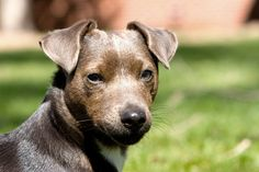 patterdale-terrier- basic info