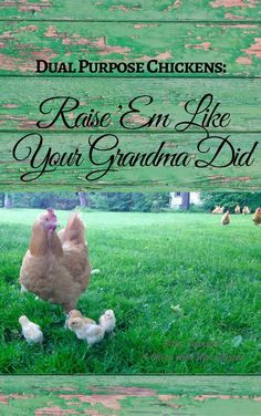 Raising dual purpose chickens gives you meat and eggs in one package. Not to mention the fact that it is the natural way to raise chickens. Learn everything you need to know in this funny and information packed eBook!