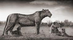 Lionesses (photo by Nick Brandt)