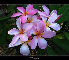 Here is another result of Hurricane Wilma! A great smelling Plumeria with no name because Wilma's 130mph winds rip off her  ID tags.This Plumeria has a nice Grape syrup smell yum yum..  *Update* Ok I finally ID this Plumie it a local rainbow plumie from one of my neighbors who lives on the next street from me. Here is the mother tree of this Plumie: www.flickr.com/photos/lopaka/430008412/ www.flickr.com/photos/lopaka/430008178/ www.flickr.com/photos/lopaka/430007603/