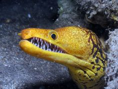 Half Crocodile half Baraccuda (just kidding of course), the Fangtooth Moray Eel sports a Mouth Filled With Shards of Glass.