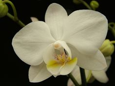 Free photo: Orchid, Phalaenopsis, White, Flower - Free Image on Pixabay - 591313