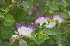How To Grow Capers: Learn About Growing And Caring For Caper Plants - What are capers and how are they used? Capers, unopened flower buds found on the caper bush, are the culinary darlings of many cuisines. Read here for tips on growing a caper bush.