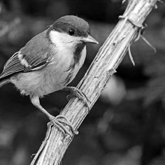 Birds 56 (n&b)(t) by Olao-Olavia / Okaio Créations  fz 1000