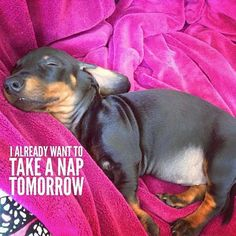 """266 Likes, 3 Comments - Dachshund Quotes & Pictures (@mydachshundfamily) on Instagram: """"Me too... . @mynameisslinky"""""""