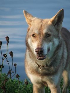 best images and photos about saarloos dog - dogs that look like wolves Saarloos, Rare Dogs, Wolfdog, Wolfhound, Types Of Dogs, Beautiful Dogs, Wolves, Dog Breeds, Husky