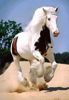 Gypsy Vanner Horse with Partial White Ears
