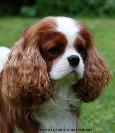 maibee montrose cavalier   ... cavalier king charles spaniels, cavalier king charles spaniels puppy's