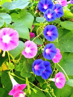 morning glories, by Lori Jo Jamieson    Flickr Rare Flowers, Flowers Nature, Beautiful Flowers, Blue Morning Glory, Morning Glory Flowers, Flowers Perennials, Planting Flowers, Lilies Drawing, Wildflower Drawing