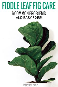 Fig Leaves, Yellow Leaves, Plant Leaves, Inside Plants, Cool Plants, Ficus, Fig Bush, Fiddle Leaf Fig Tree, House Plant Care