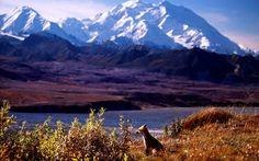 live month in Denali NP! Alaska, National Parks, Wildlife, Adventure, Mountains, Nature, Travel, Moose, Viajes
