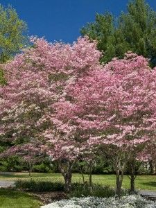 Dogwood Trees Hardy and pest resistant to add a pop of color to your landscaping.