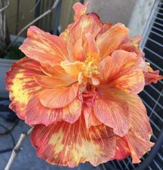 Giant Double Hibiscus Seeds Beautiful Bonsai Flower Seeds Perennial Plants Potted Flower For Home Garden Planting Hibiscus Flowers, Exotic Flowers, Tropical Flowers, Amazing Flowers, Colorful Flowers, Beautiful Flowers, Beautiful Things, Hibiscus Rosa Sinensis, Home Garden Plants