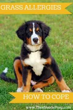 Does your dog suffer severely from grass allergies? Find out how you can help your pet!