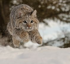 Getting Air - Young Bobcat by Jeff Wendorff