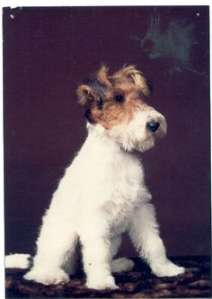 Introduction To Owning  A Wire Fox Terrier