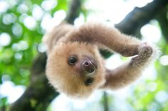 Sloth Love in Costa Rica Faultier More from my site Baby Sloth Sanctuary Cute Little Animals, Cute Funny Animals, Cute Endangered Animals, Cute Baby Sloths, Tier Fotos, Cute Animal Pictures, Pictures Of Sloths, Animal Pics, My Spirit Animal