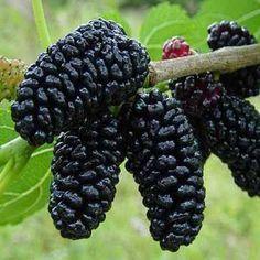 Frutas de A a Z - Amora-rica em cálcio e fósforo e vitamina A e C