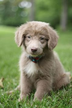Weimaraner Golden Retriever Mix Puppies