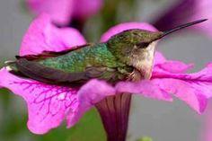 Resting Hummingbird in a petunia.