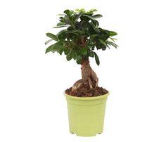 Fiori e piante finte artificiali: prezzi e offerte online | Ficus