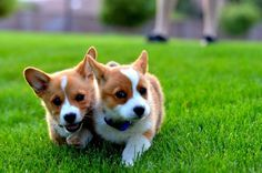 Corgi puppies, embarking on an adventure.