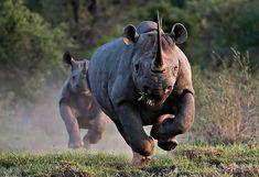 Enciclopedia animal | Animales del desierto - Rinoceronte negro