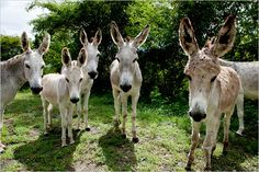 Wild Donkeys on St. John Island... i love donkeys, they are so cute