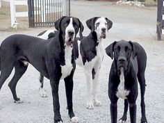 great dane | Great Dane - Dog Pictures and Videos