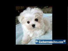 Cachorro Maltes-Maltes Micro - YouTube