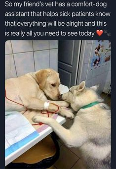 This veterinarian has a comfort dog assistant that helps sick dog patients know that everything will be alright Tags: Labrador Retriever, Puppy 792 points, 15 comments. Cute Funny Animals, Cute Baby Animals, Funny Dogs, Animals And Pets, Cute Animal Memes, Cute Puppies, Cute Dogs, Dogs And Puppies, Doggies