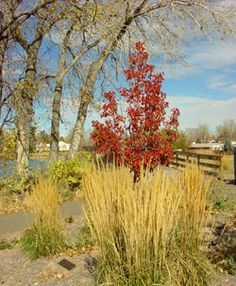 Fall Planting of trees and shrubs -- CSU extension