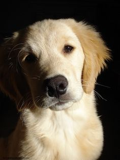 posing perfectly...golden puppy