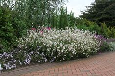 gaura so white in front of switch grass