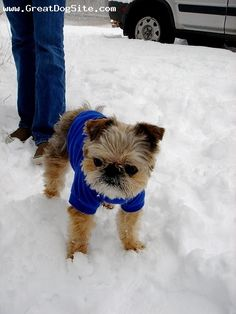 Brussels Griffon, 6 months, Brown, sweater and snow