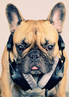 Musical Frenchie.