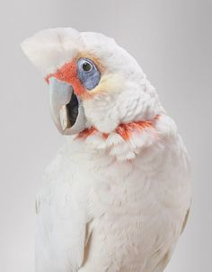 ©Leila Jeffreys 2012 'Bob' Long-billed corella 2012 Series: Biloela Wild Cockatoos Photograph on archival fibre based cotton rag paper 112 x Australian Birds, Cockatoo, Birds Of Prey, Colorful Birds, Parakeet, Strike A Pose, Beautiful Birds, Beautiful Creatures, Animal Photography