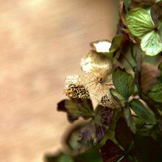Gold vein  紫陽花の葉脈