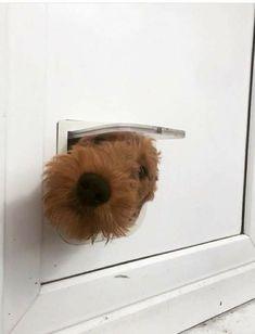 Dachshund Puppies, Baby Puppies, Baby Dogs, Doggies, Funny Animal Pictures, Dog Pictures, Funny Animals, Cute Animals, Irish Terrier