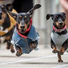 And these two were just happy to get some air below their paws. | 15 Pictures Of Wiener Dogs In Costumes Having The Time Of Their Lives