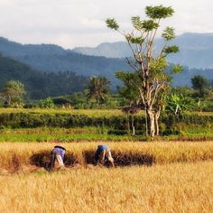 Rice harvest in the Bali fields turns the landscape a beautiful shade of gold. #bali